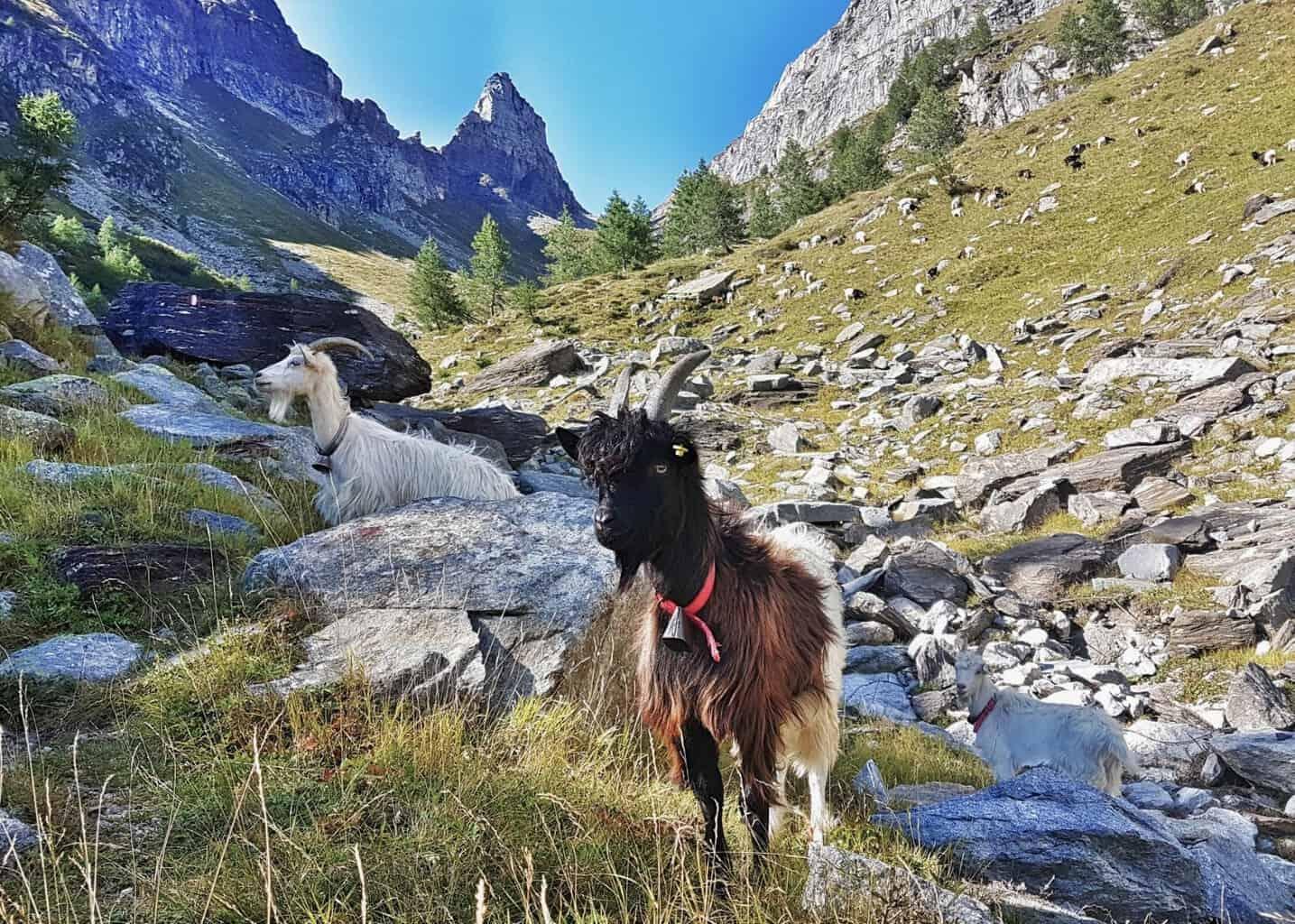 Walliser Schwarzhalsziege in Italien