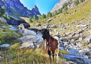Trekking Bortelhütte-Veglia-Walliserziege